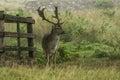 A fallow deer standing near a fence