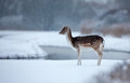 Fallow deer standing in a winter landscape Royalty Free Stock Images