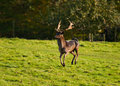 Fallow Deer stotting/pronking Royalty Free Stock Image