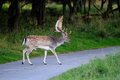 Fallow-deer on the street Royalty Free Stock Image
