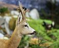 Fallow deer wild animals of the forest in middle woods Stock Photo