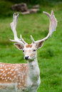 Fallow deer in the wilderness Stock Photos