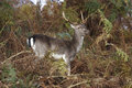 Fallow deer a young in bracken Stock Photography