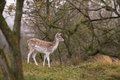 The Fallow Deers' appearance Royalty Free Stock Photo