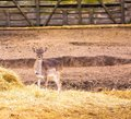Fallow deers flock photographed in animal park herd of does Stock Photo