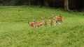 Fallow deers Royalty Free Stock Photo