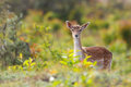 Falow deer Royalty Free Stock Images