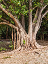 False banyan tree trunk with roots growing down off branches Stock Image