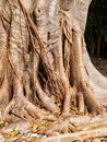 False banyan tree trunk with roots growing down off branches Royalty Free Stock Photo