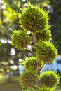 False cypress in hotel garden area formed in balls Stock Photo
