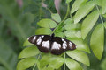 False diadem butterfly wings spread sunning on leaves Stock Image
