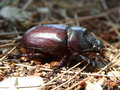 Famale rhinoceros famele beetle on the ground croatia Stock Images