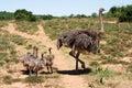 Famiglia dello struzzo Fotografia Stock Libera da Diritti