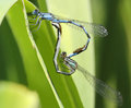 Familiar bluet damselflies mating enallagma civile grand bend ontario Stock Photo