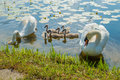 Family of adult and little mute swans cygnus olor on the lake negova in slovenia Royalty Free Stock Images