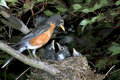 A family of American robin (Turdus migratorius). Royalty Free Stock Photo