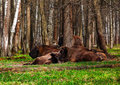 A family of bison in a national park Royalty Free Stock Image
