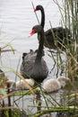 Family of black swans feeding australian native bird Stock Images