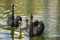 Family of black swans on a green pond Stock Photography