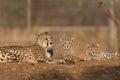 Family of Cheetahs Royalty Free Stock Photo