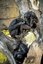 Family of chimpanzees resting on a tree