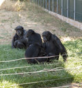 Family of chimps sitting on some green grass relatives photo Royalty Free Stock Photography