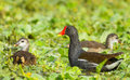 The family of common moorhen gallinula chloropus in nature Royalty Free Stock Images
