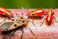 Family cotton stainer bug of red Stock Photos