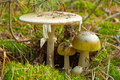 Family of dangerous Amanita phalloides Royalty Free Stock Photo