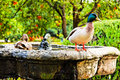 Family of ducks on a Fountain in Seville Royalty Free Stock Images