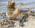 Family of ducks walking along the shore the pond Stock Photography