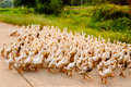 Family of ducks walking a straight line in thailand Royalty Free Stock Photography