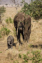 Family of elephants photo taken during the safari in serengeti national park tanzania Royalty Free Stock Photography