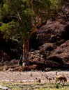 A family of emus on a dry riverbed in the remote parachila gorge flinders ranges australia Royalty Free Stock Images