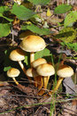 Family false honey agarics grow on a tree stump Stock Image