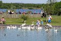Family feeding swans in a pond chasewater country park staffordshire england uk western europe Royalty Free Stock Images