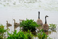Family of geese in the mist Royalty Free Stock Photo