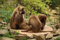 Family of gelada monkeys sitting od a rock baboon or bleeding heart baboon male and females and searching for fleas Stock Image