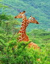 Family of giraffes Royalty Free Stock Photo