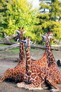 Family of giraffes Royalty Free Stock Images