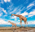 Family of giraffes goes against the blue sky Royalty Free Stock Photography