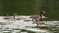 Family of great crested grebes (Podiceps cristatus) Royalty Free Stock Photo