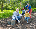 Family harvesting potatoes in field Royalty Free Stock Photo