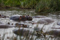 A family of hippos relaxing Royalty Free Stock Photo