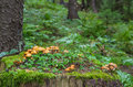 Family Honey fungus Royalty Free Stock Photo