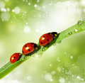 Family of ladybugs on green leaf the background bokeh Stock Image