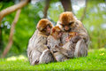 Family love and togetherness displayed here by a group of macaque monkeys in a natural forest environment Royalty Free Stock Photo