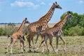 Family of Masai Giraffe, Running Royalty Free Stock Photo