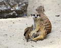 Family of meerkats with cubs. Royalty Free Stock Photography