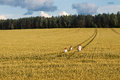 Family mom and two children girl and boy walking the wheat fields and forests Royalty Free Stock Photo